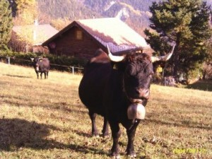 Une belle vache dans les Alpes :)