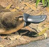 Ornithorinque